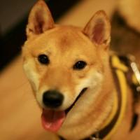 スカイ ♂柴犬