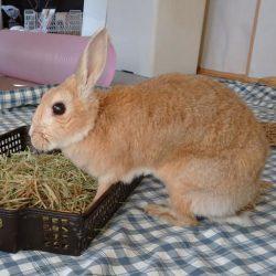 ふわこさん♀ミニウサギ