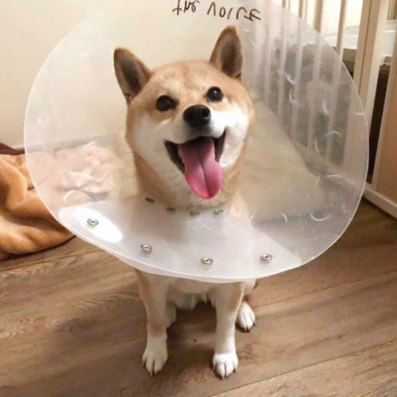 シュリ♀柴犬